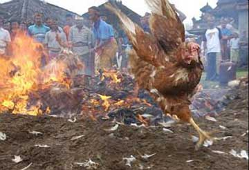Burning-Chickens